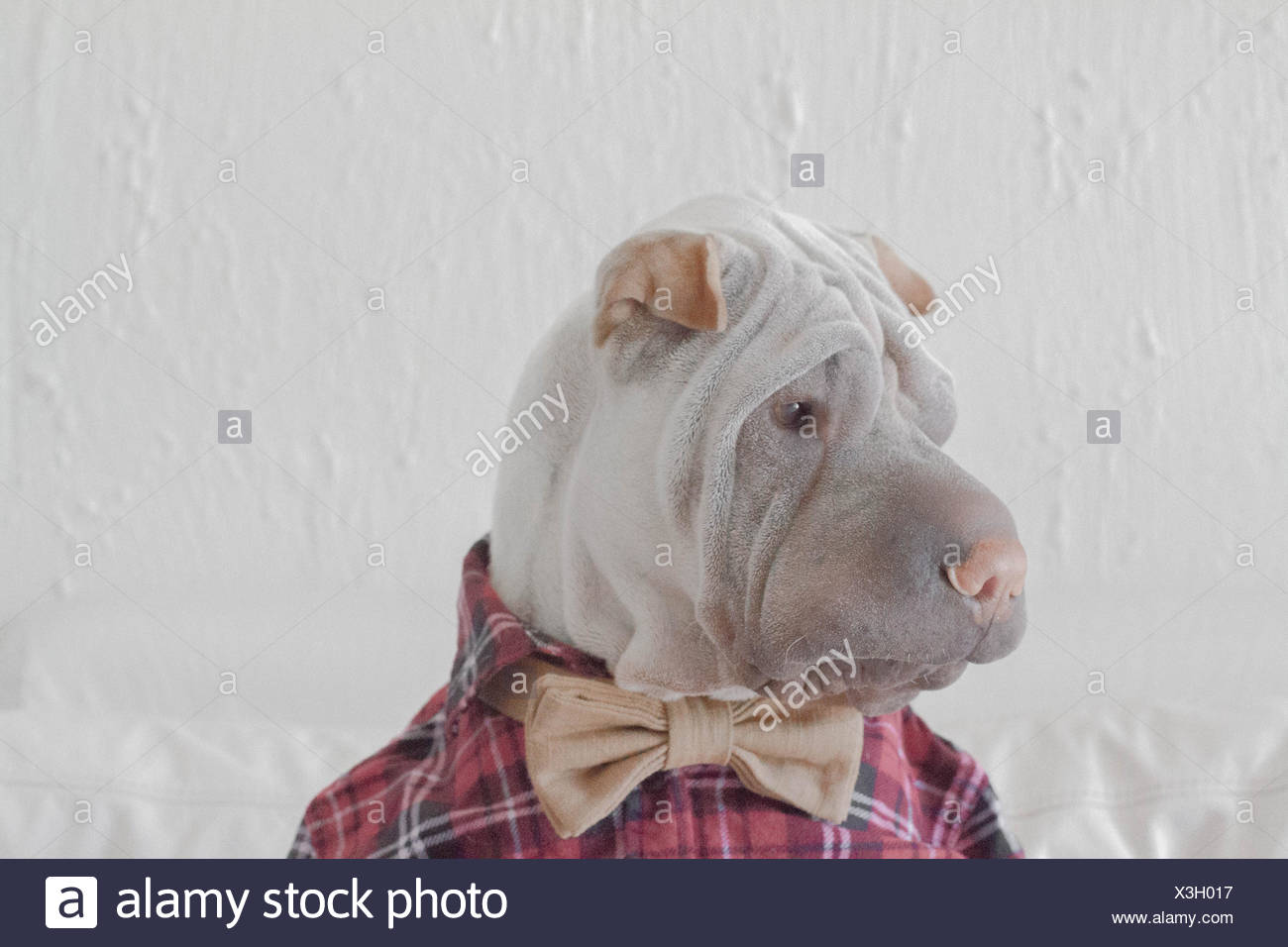 Portrait of shar-pei dog in shirt and bowtie - Stock Image