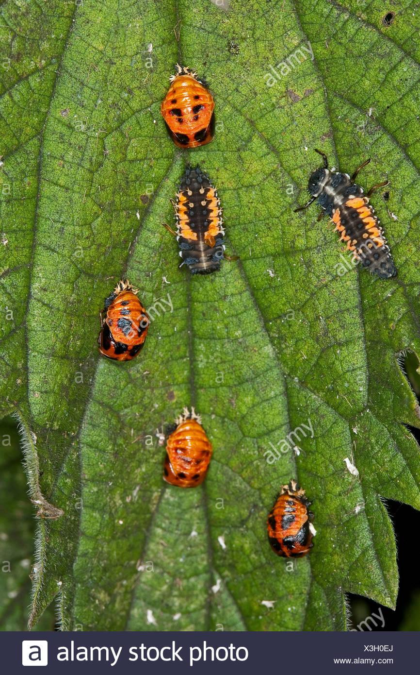 multicoloured Asian beetle (Harmonia axyridis), larvas and pupas on a leaf, Germany - Stock Image