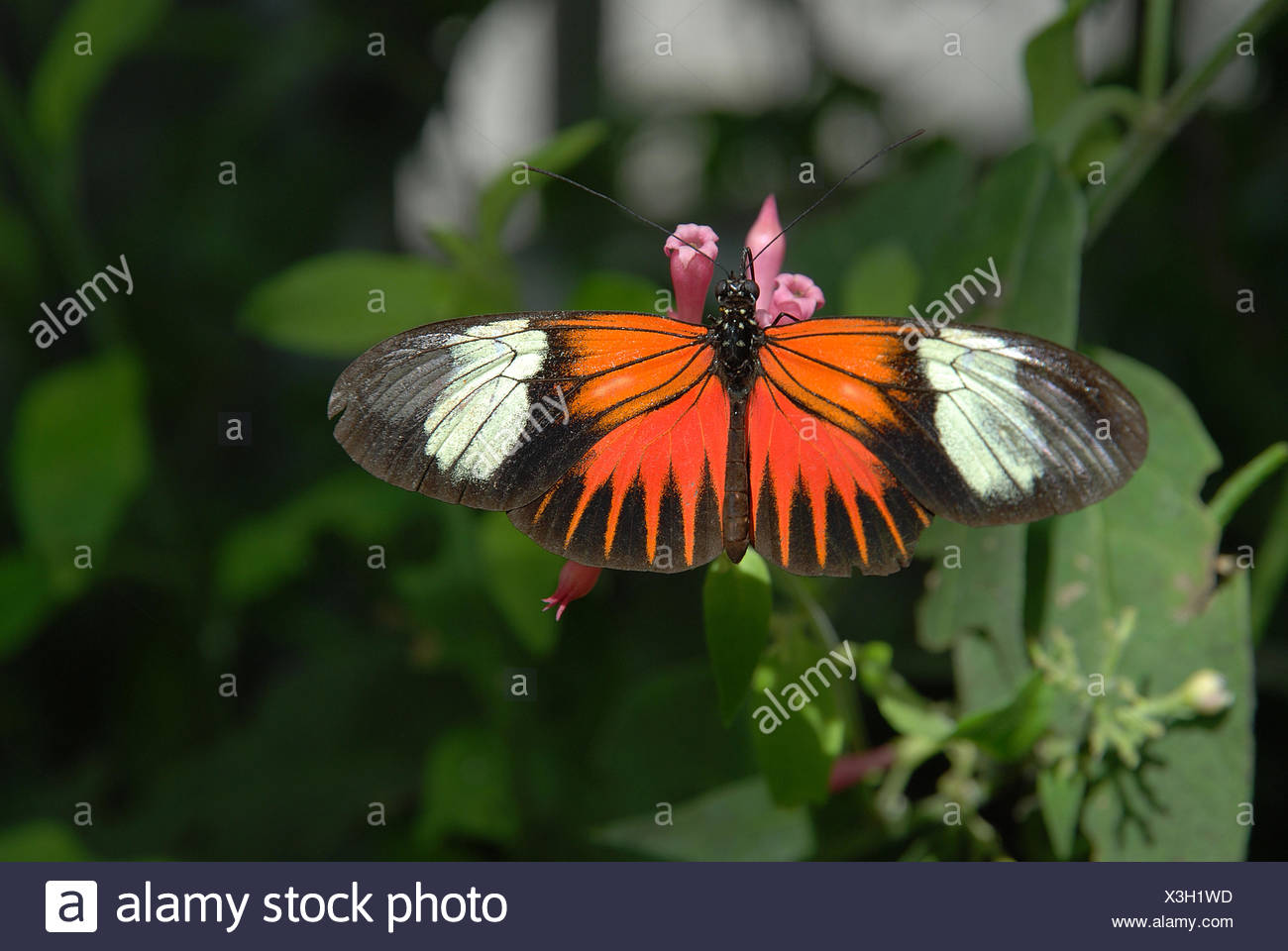 butterfly, kleiner Postbote Stock Photo