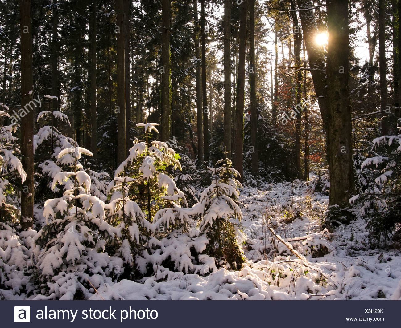 Bannwil, spruces, canton Bern, snow, Switzerland, sun, firs, wood, forest, winter, winter wood Stock Photo