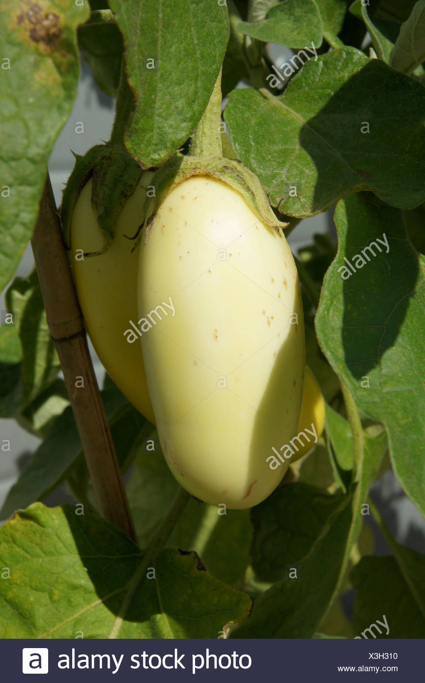 Solanum melongena, Eierfrucht, eggplant Stock Photo