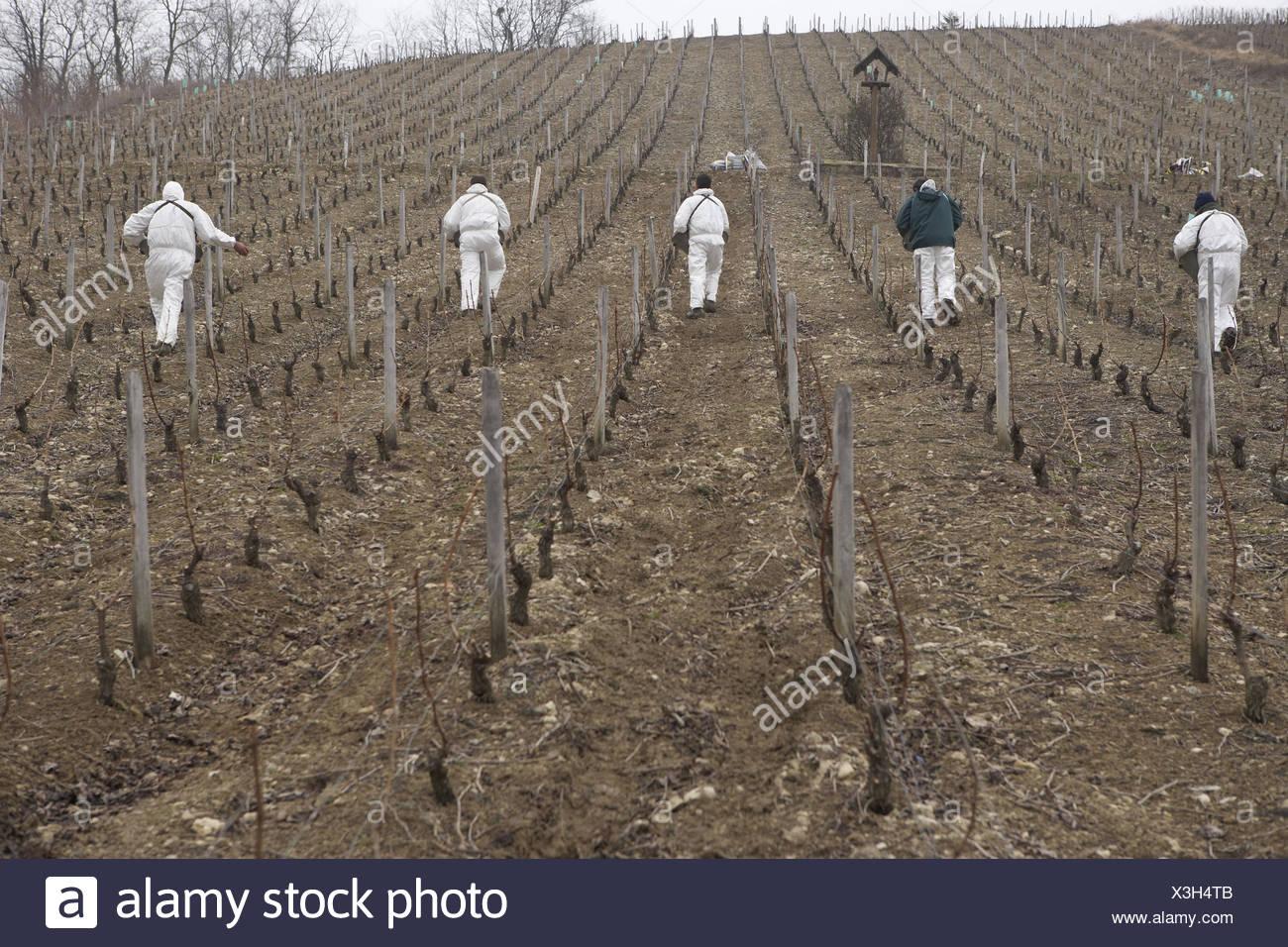 France, Loire, Sancerre, vineyard, men, work in the fields, scenery, wine area, wine region, viticulture, wine-growing area, wine-growing area, plant fertilizer, men, people, fertilising, wine, vines, vines, wine fertilizers, winters, protection of plants - Stock Image