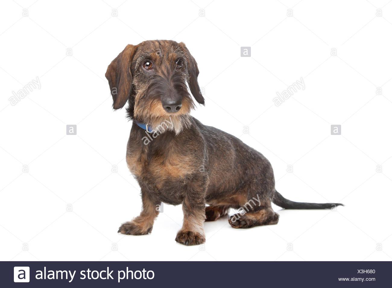 Wire Haired Dachshund Dog Stock Photos & Wire Haired Dachshund Dog ...