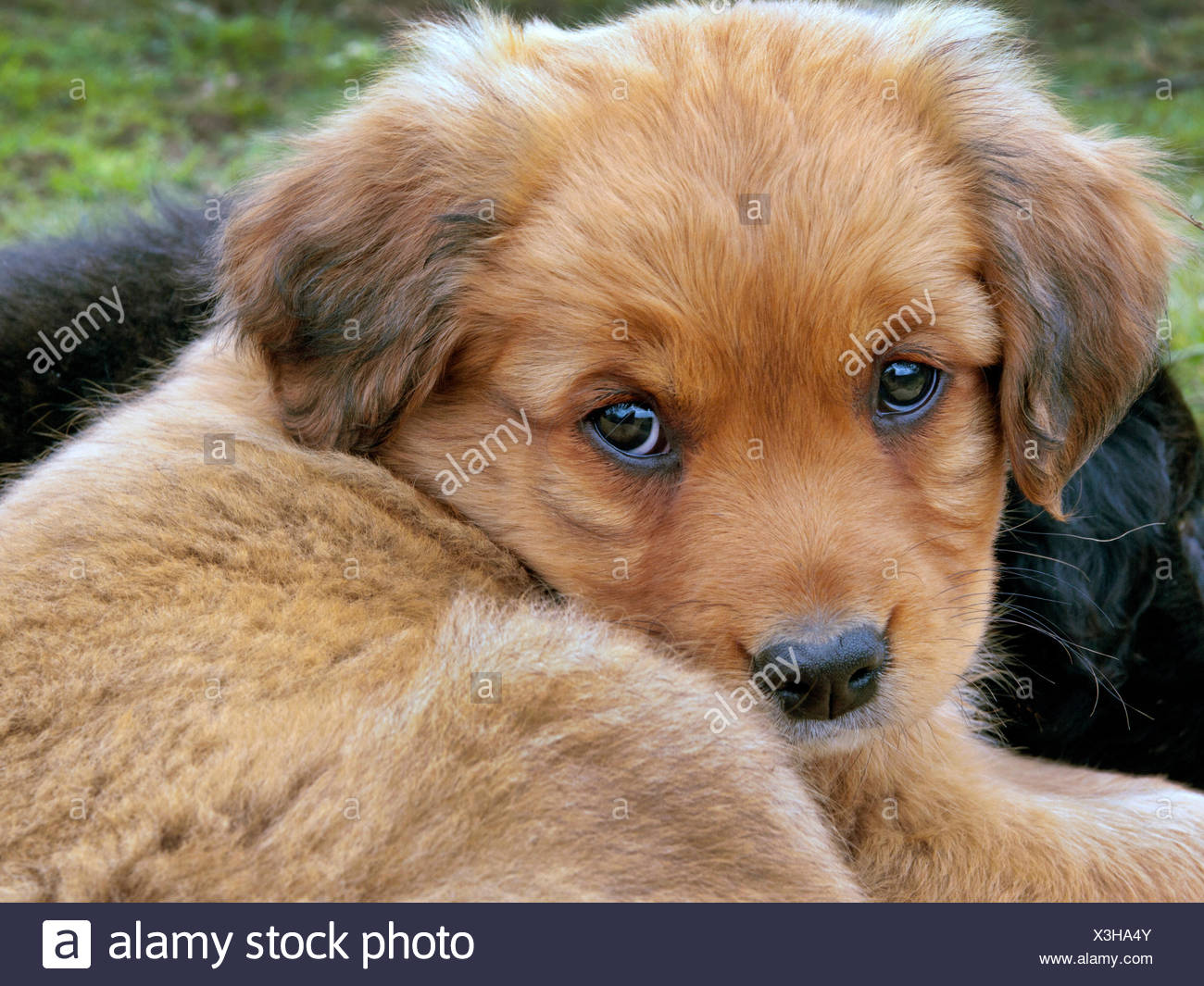 brown, brownish, brunette, puppy, maddening, pert, coquettish, cute, pet, - Stock Image
