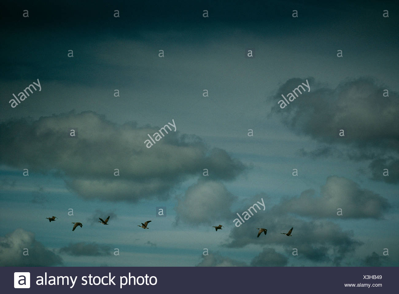View of Canada goose flying - Stock Image