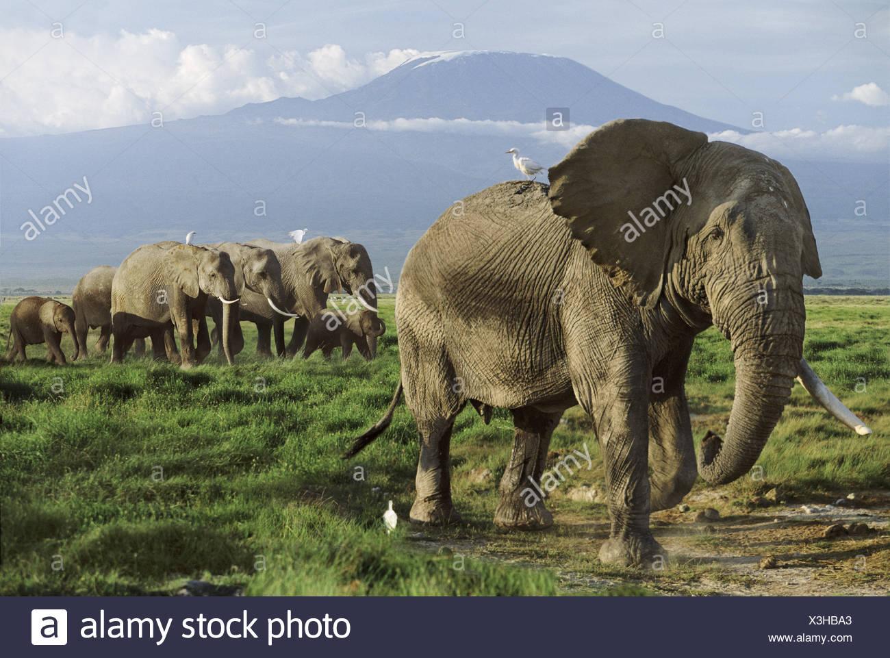 Elephant herd with Mt Kilimanjaro in the background Amboseli Kenya - Stock Image