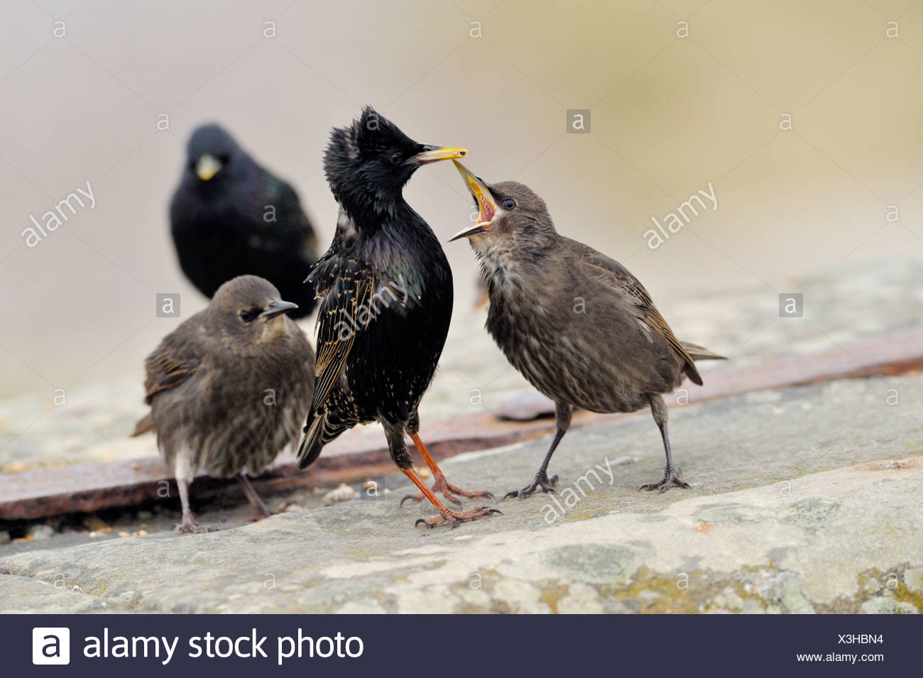 Starling - Juveniles being fed by parent Sturnus vulgaris - Stock Image