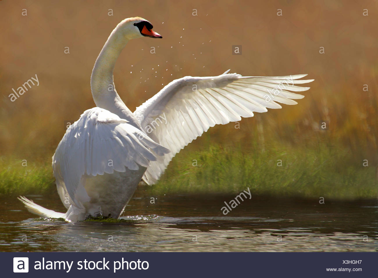 mute swan (Cygnus olor), flapping wings, Germany - Stock Image