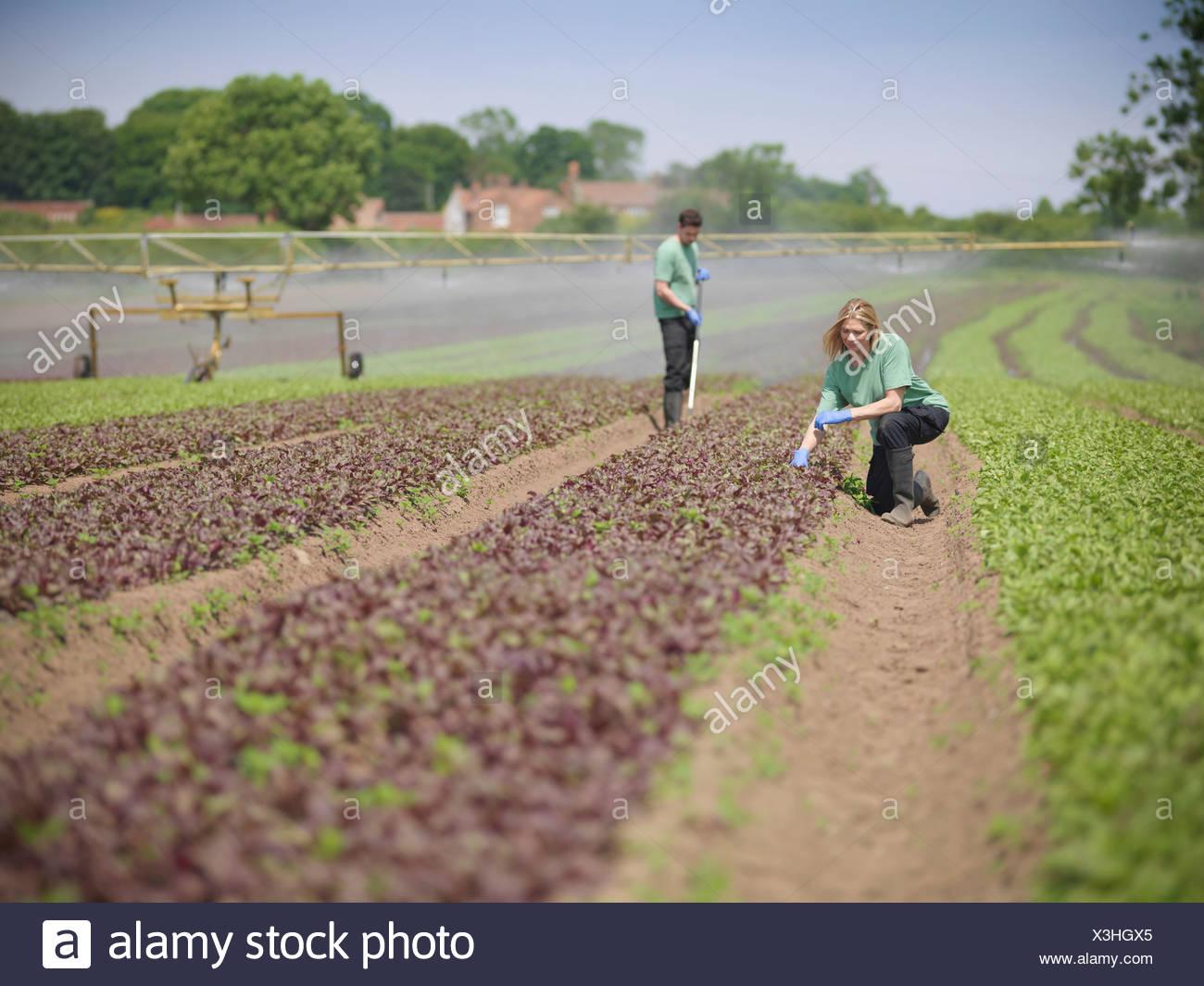 Workers tending to salad crop - Stock Image
