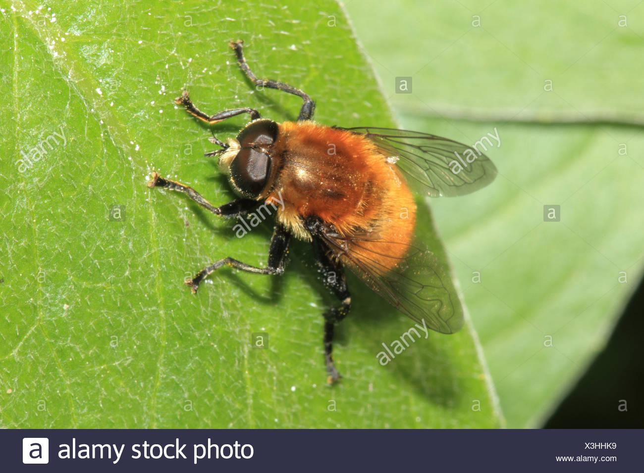 Yellow-hairy Hummelschwebfliege, leaves, medium close-up, landscape format, animal, wild animal, Hummelschwebfliege, fly, insect, - Stock Image