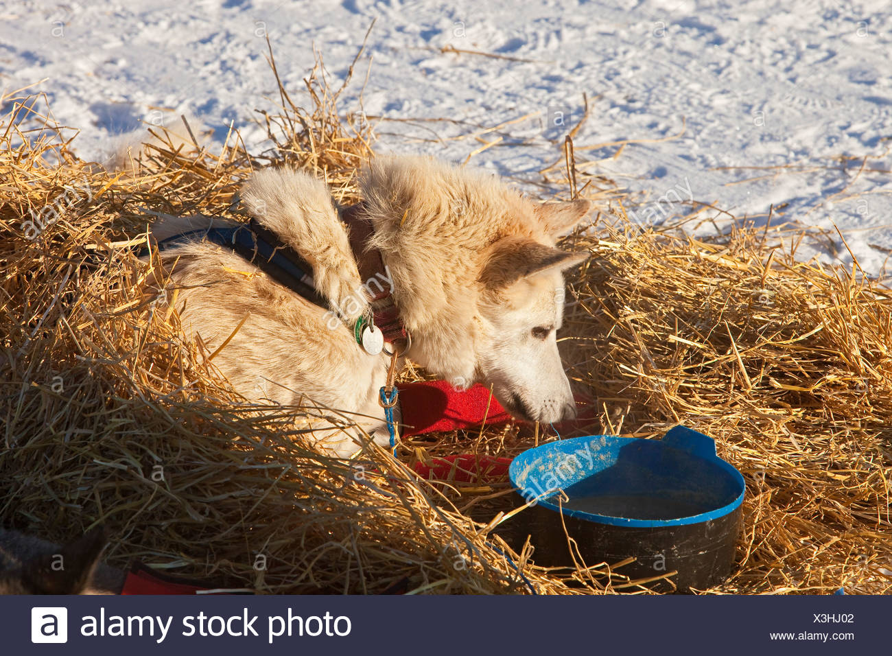 Sled dog looking at dog dish, wrist bandages, Alaskan Husky, straw, Pelly Crossing checkpoint, Yukon Quest 1, 000-mile - Stock Image