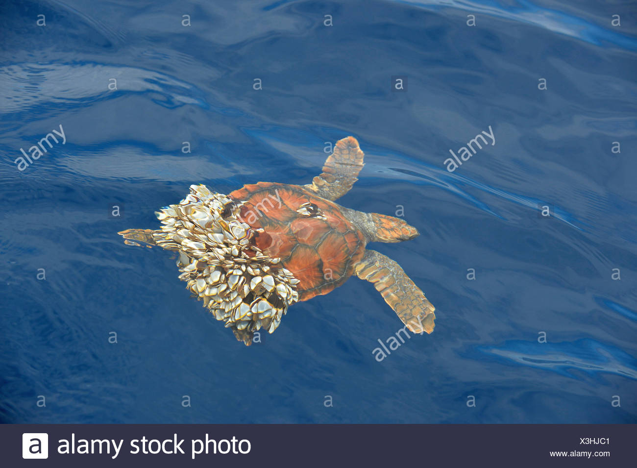 Turtle Barnacle Stock Photos Amp Turtle Barnacle Stock