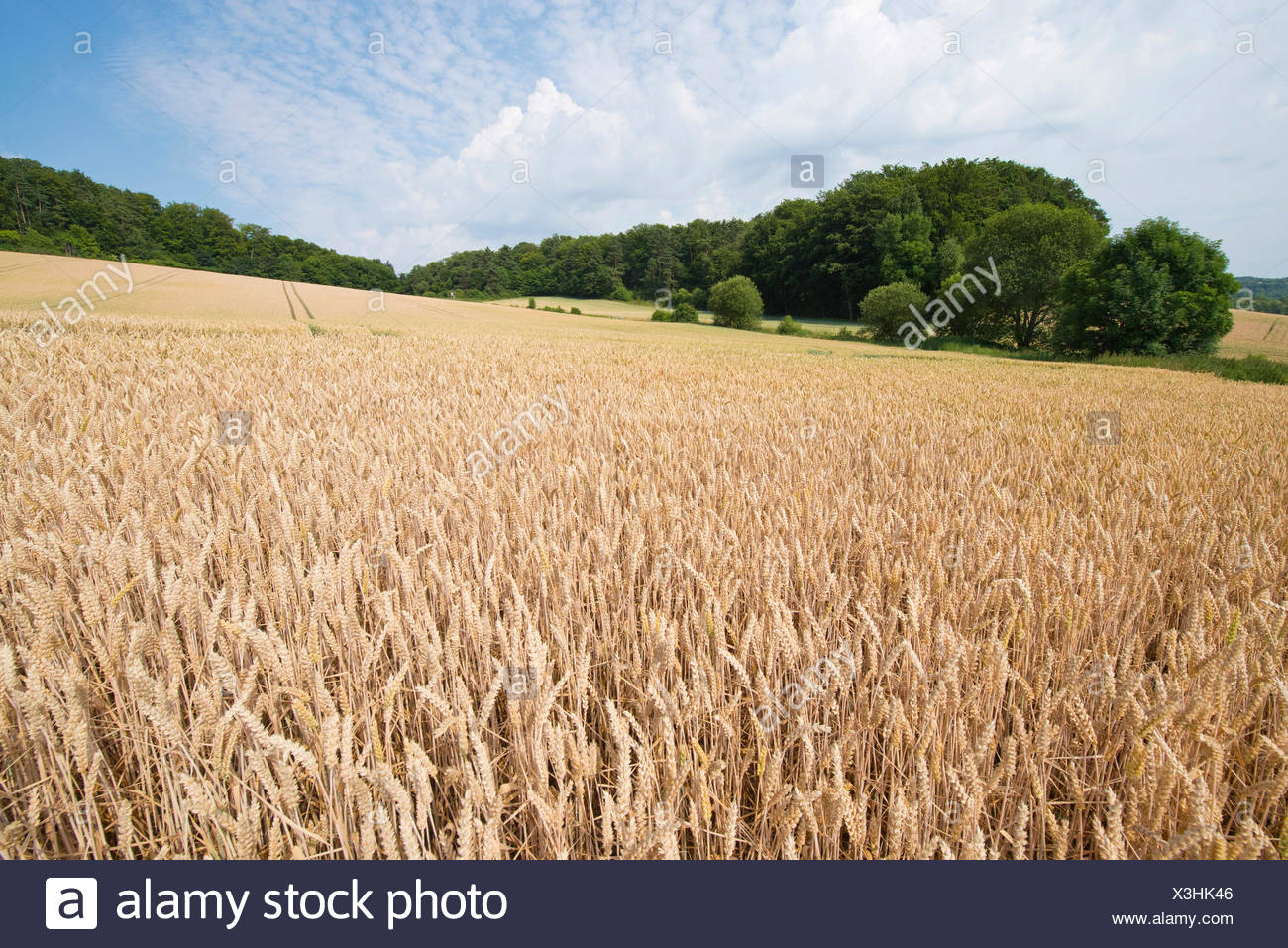 Wheat field, Thuringia, Germany - Stock Image