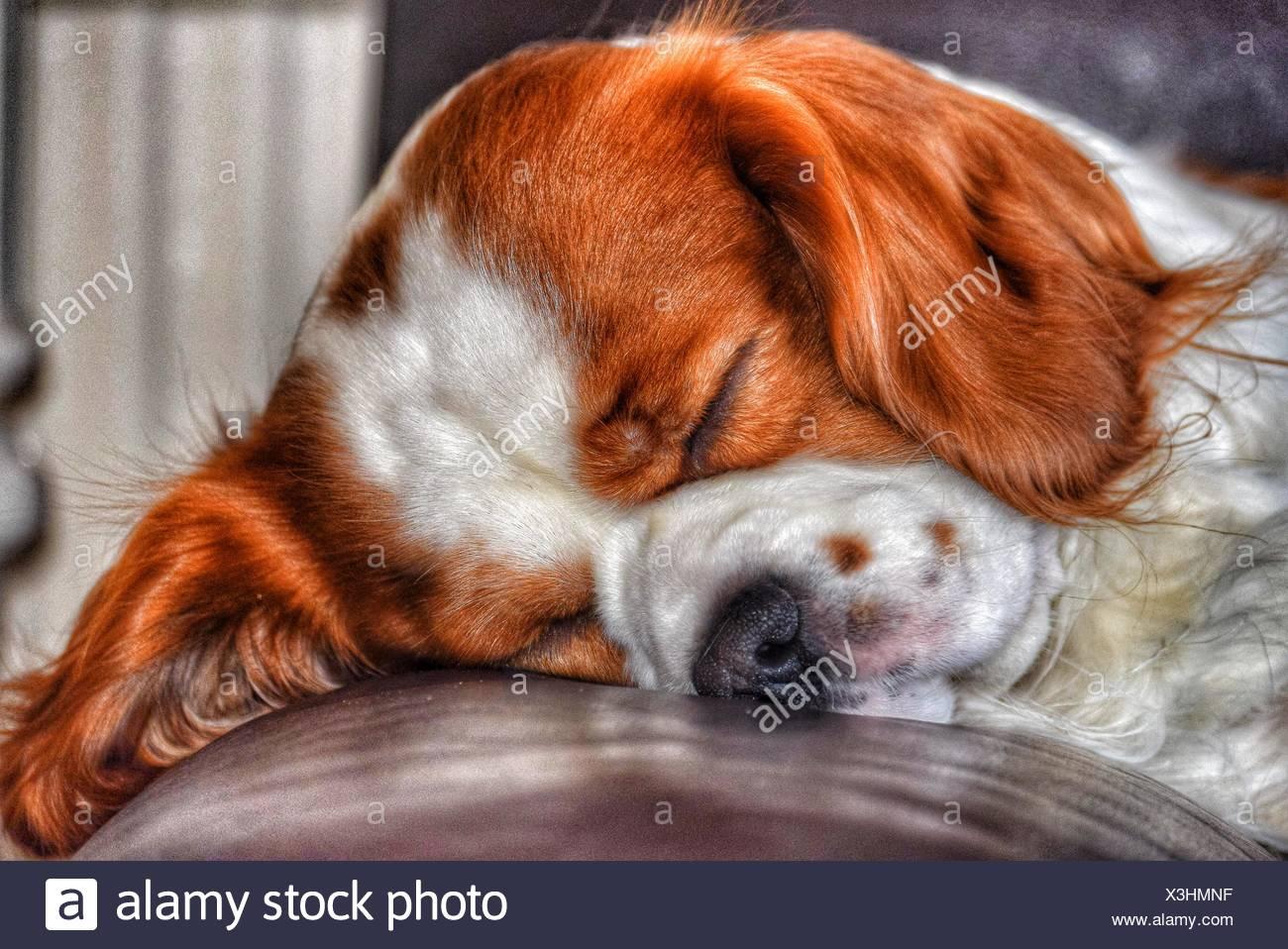 Dog Sleeping On Leather Cushion - Stock Image