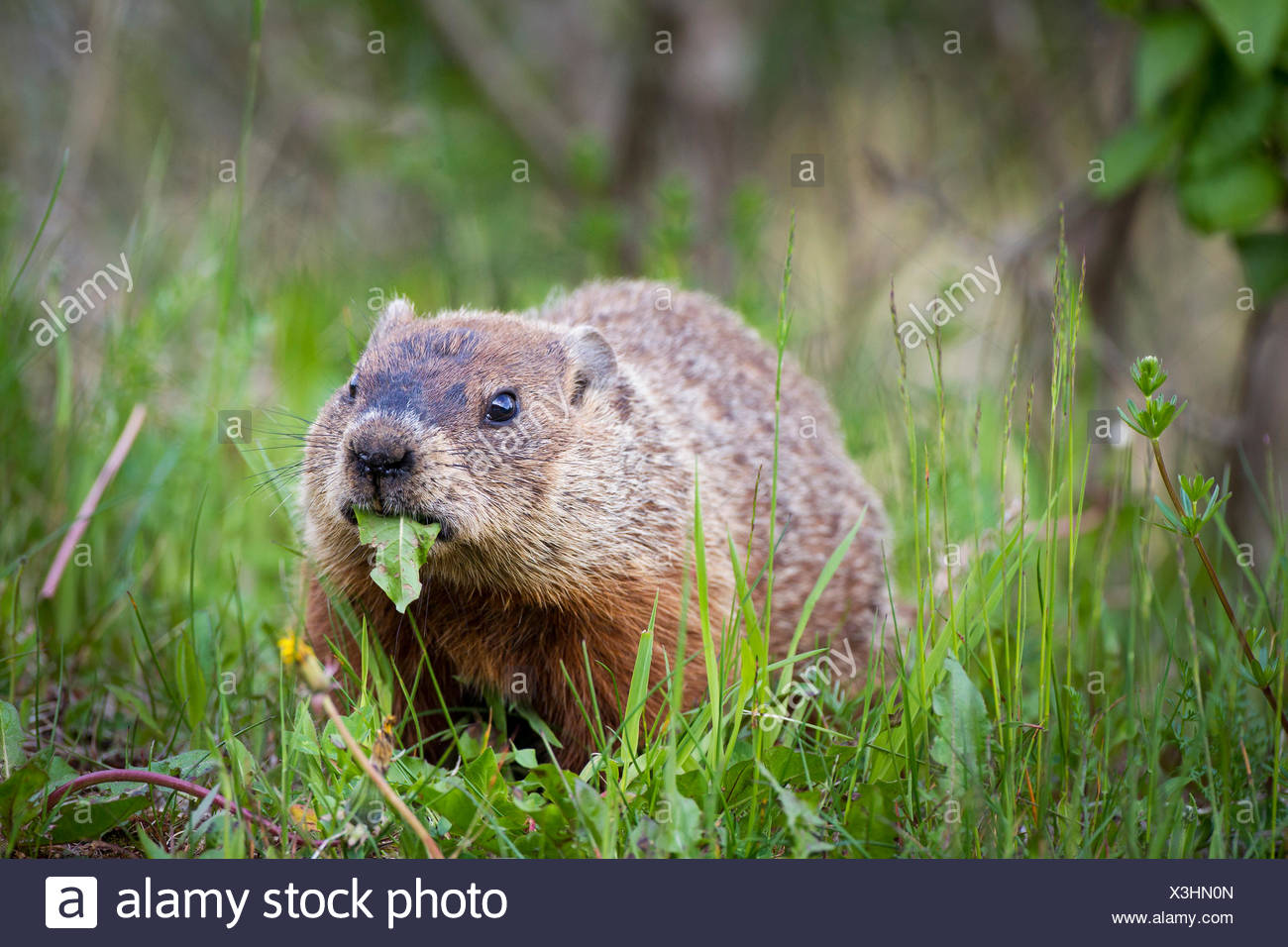 A Woodchuck or groundhog (Marmota monax) with a leaf in its mouth in Forillon National Park, Quebec, Canada - Stock Image