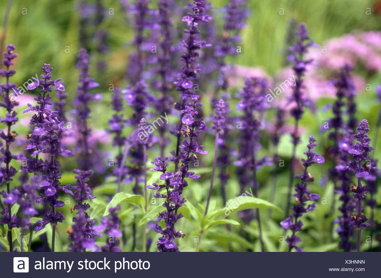 Real sage, Salvia officinalis, blooms, Lippenblütler, sage