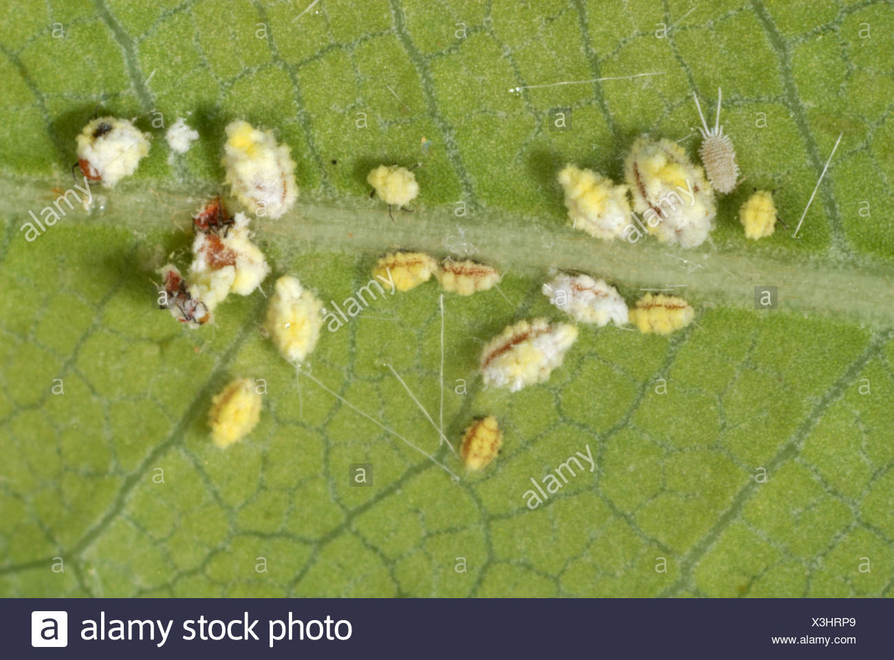 Cottony cushion scale (Icerya purchasi) nymphs on a leaf with a glasshouse mealybug - Stock Image