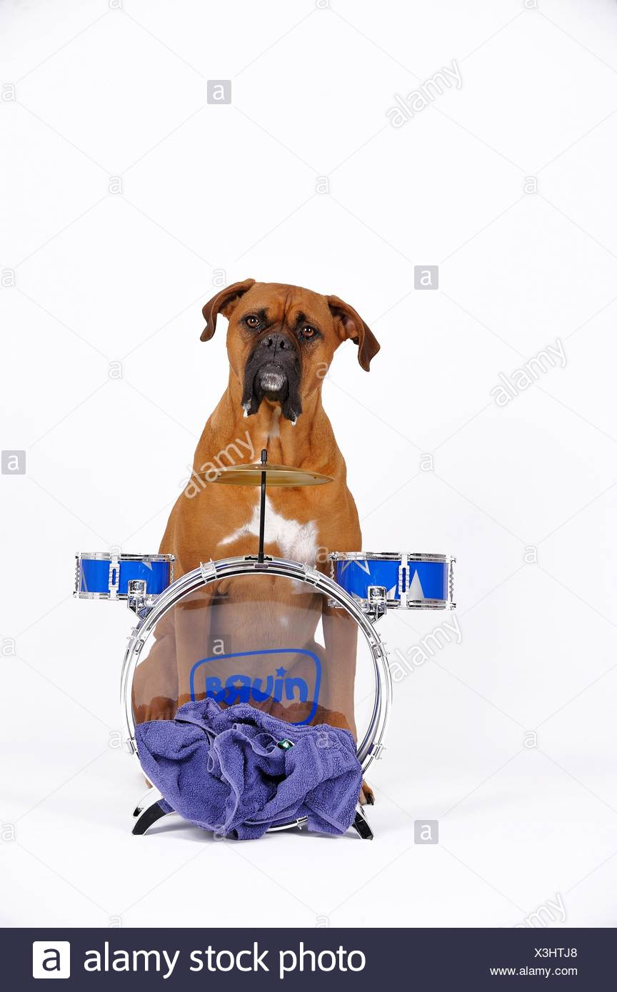 German Boxer with drums Stock Photo