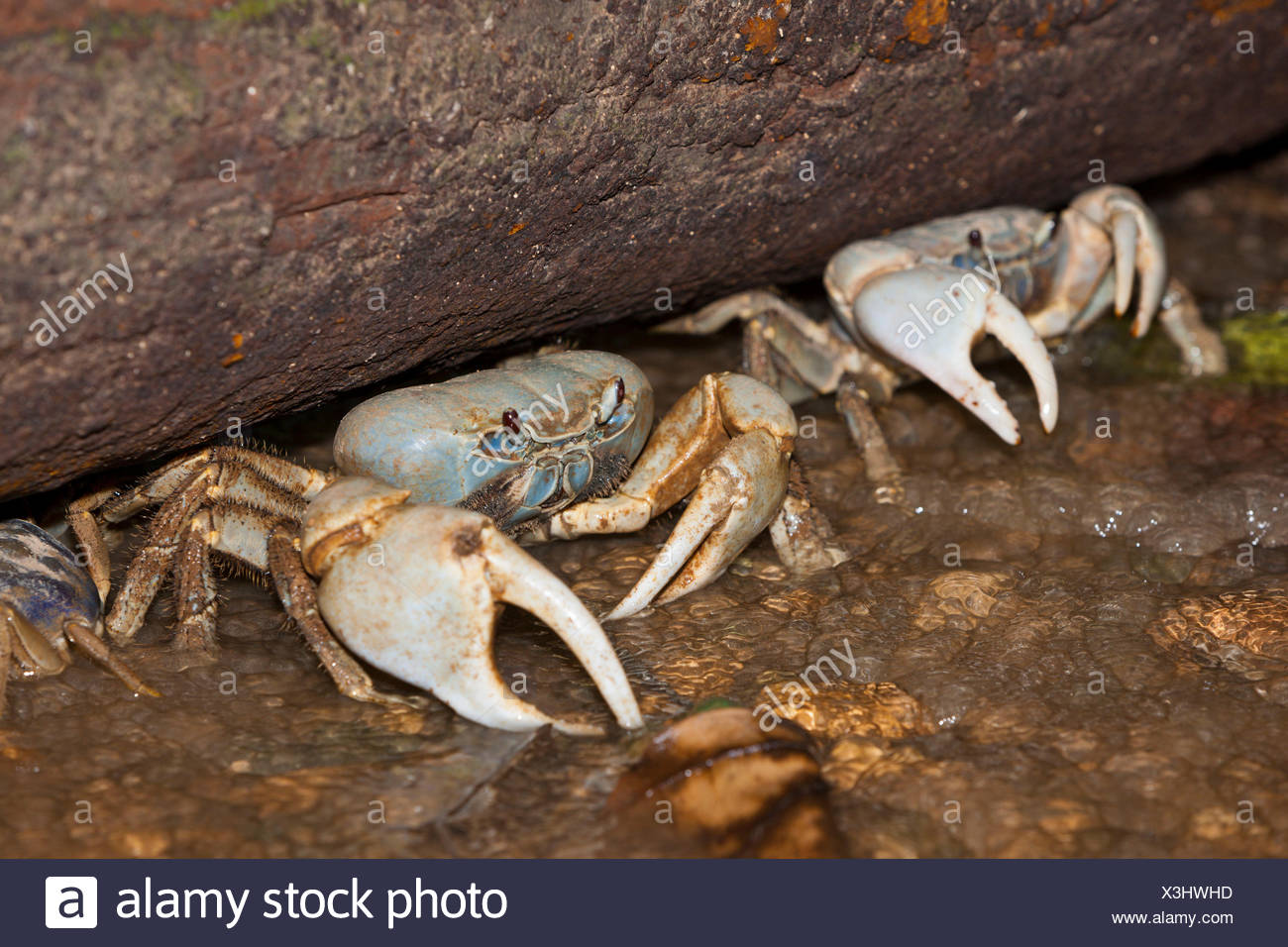 Blue Crab Stock Photos & Blue Crab Stock Images - Alamy