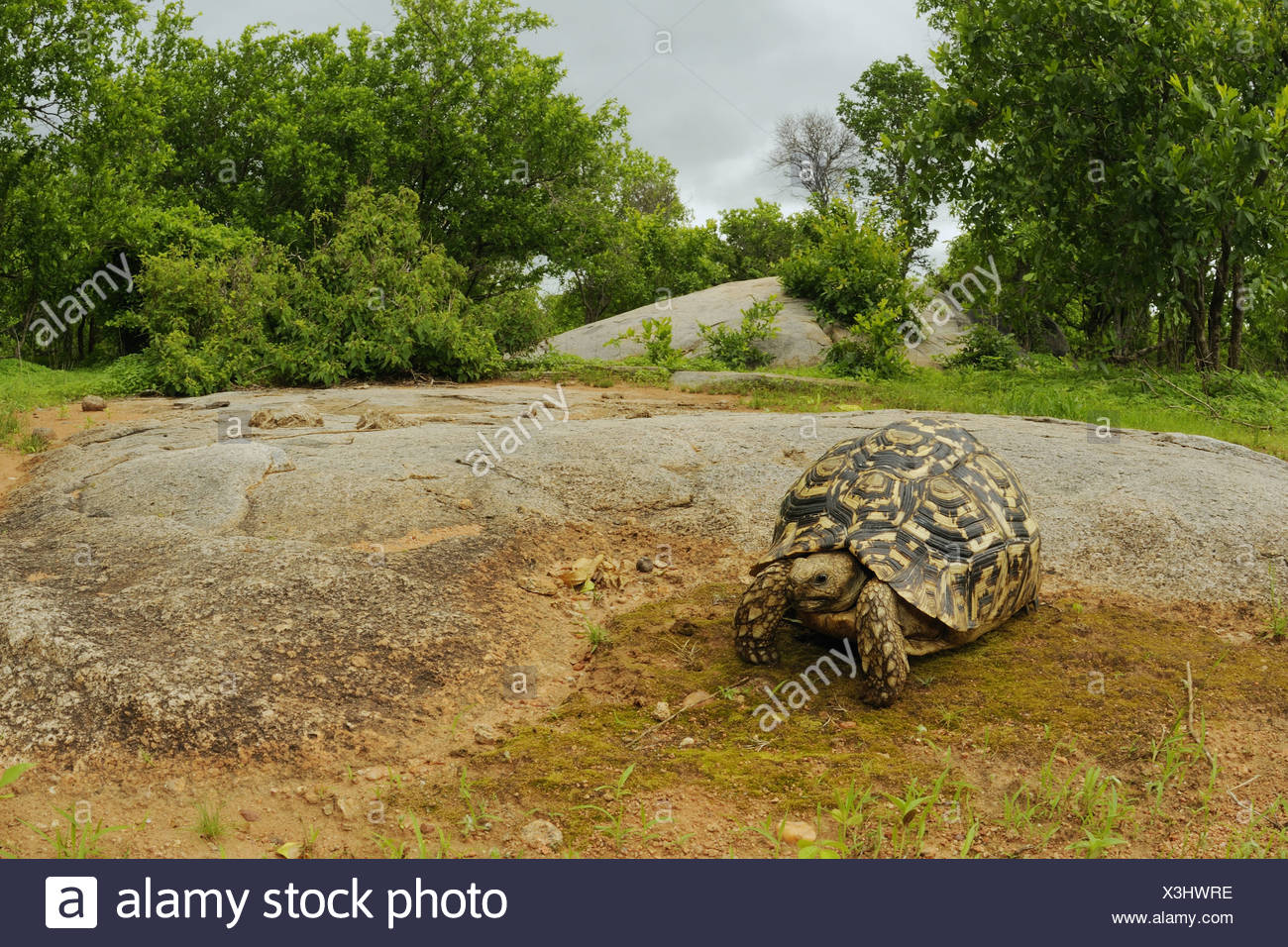 Leopard Tortoise (Stigmochelys pardalis) adult, standing on rock in bush habitat, Ruaha N.P., Tanzania - Stock Image