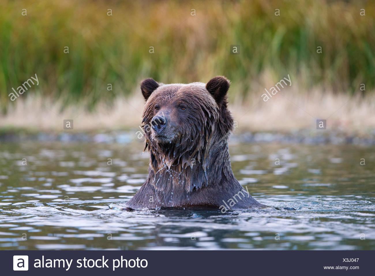 Grizzly bear (Ursus arctos horribilis), Central Interior, British Columbia. - Stock Image