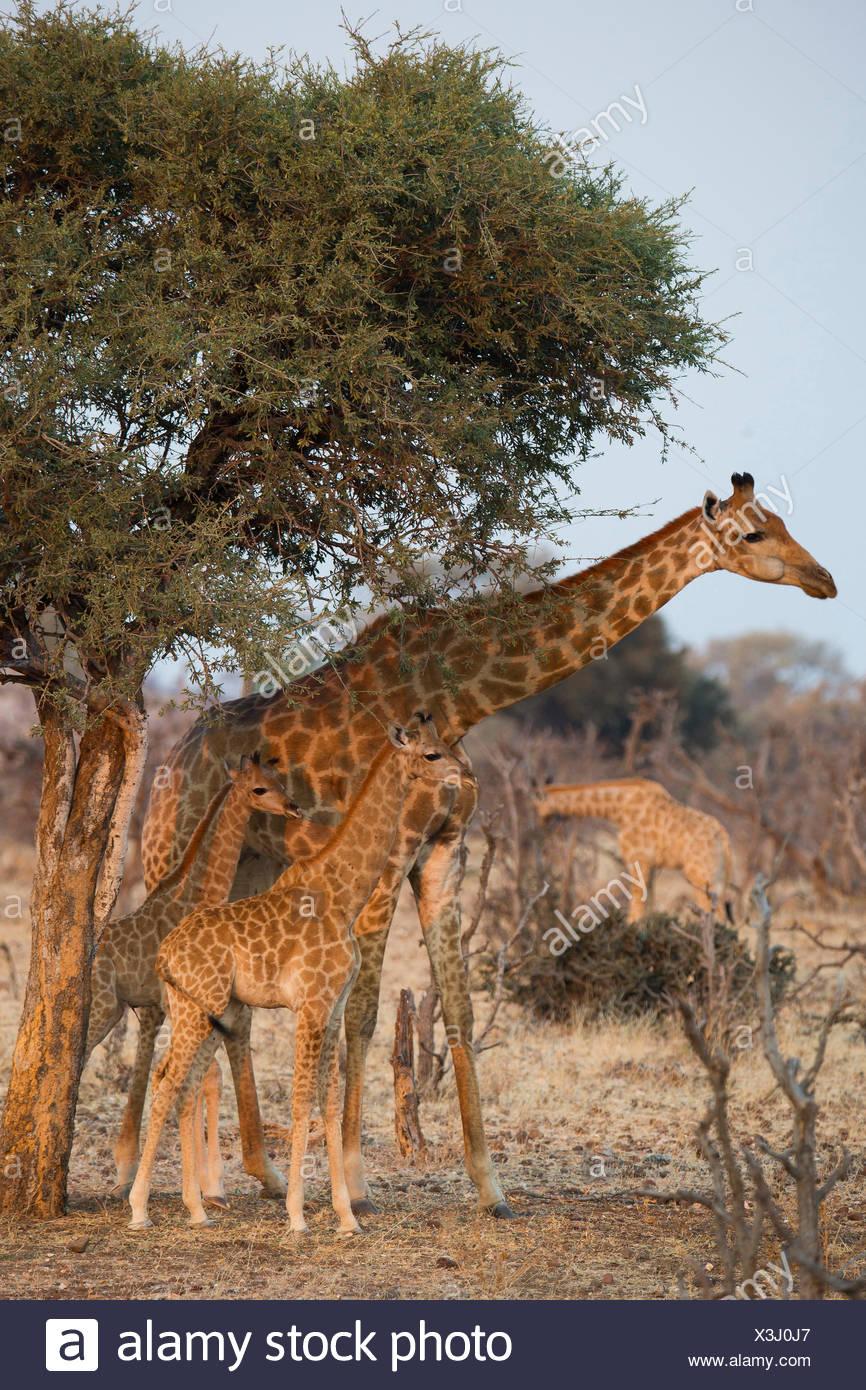 Angolan Giraffe, Namibian Giraffe (Giraffa camelopardalis angolensis) Female young standing the shade tree Namib-Skeleton Coast - Stock Image