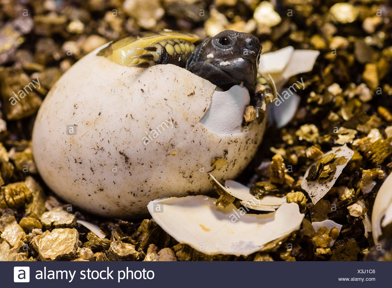 Hermann's tortoise, Greek tortoise (Testudo hermanni), hatching from the egg, Germany - Stock Image