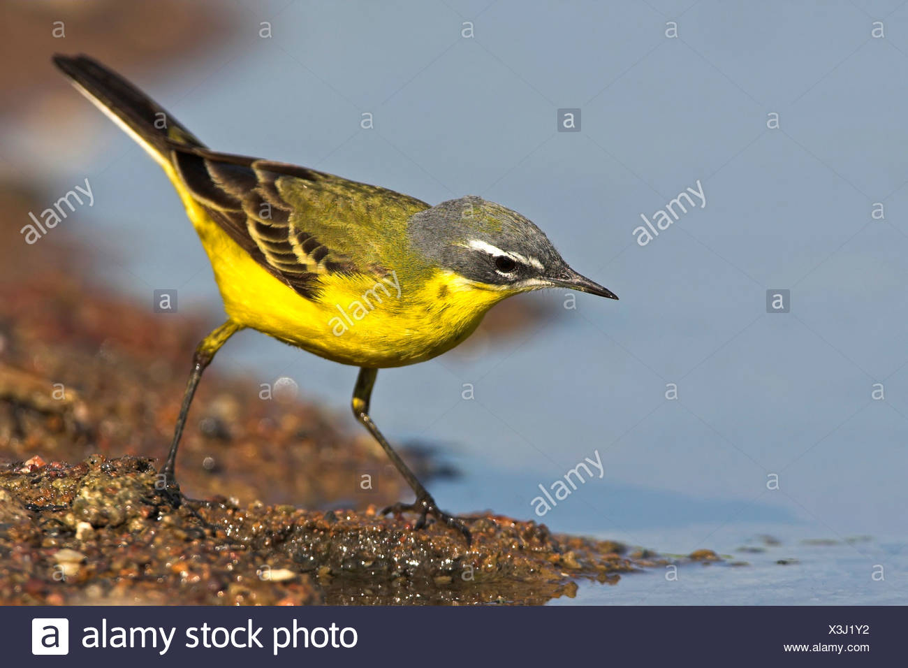 Blue-headed Wagtail, Yellow Wagtail (Motacilla flava flava), standing at the bank of a quiet water, Greece, Lesbos - Stock Image