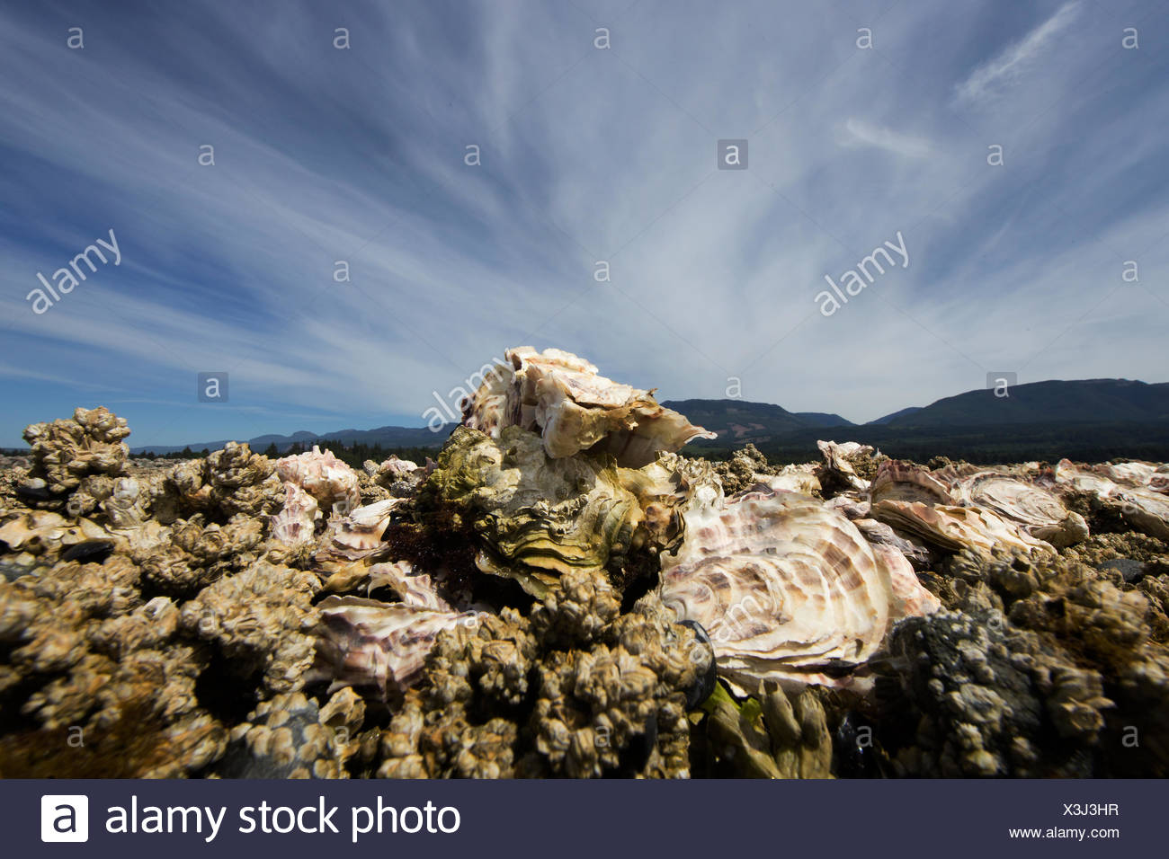Oysters growing on foreshore leases line the shores of Fanny Bay near the Comox Valley, Vancouver Island, Canada - Stock Image