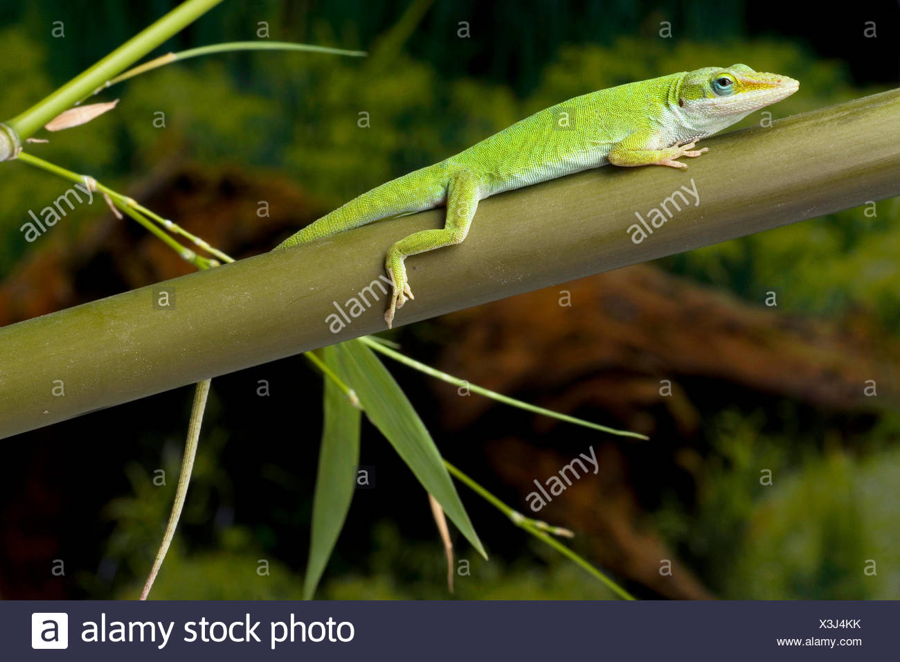 green anole (Anolis carolinensis), on a stem - Stock Image