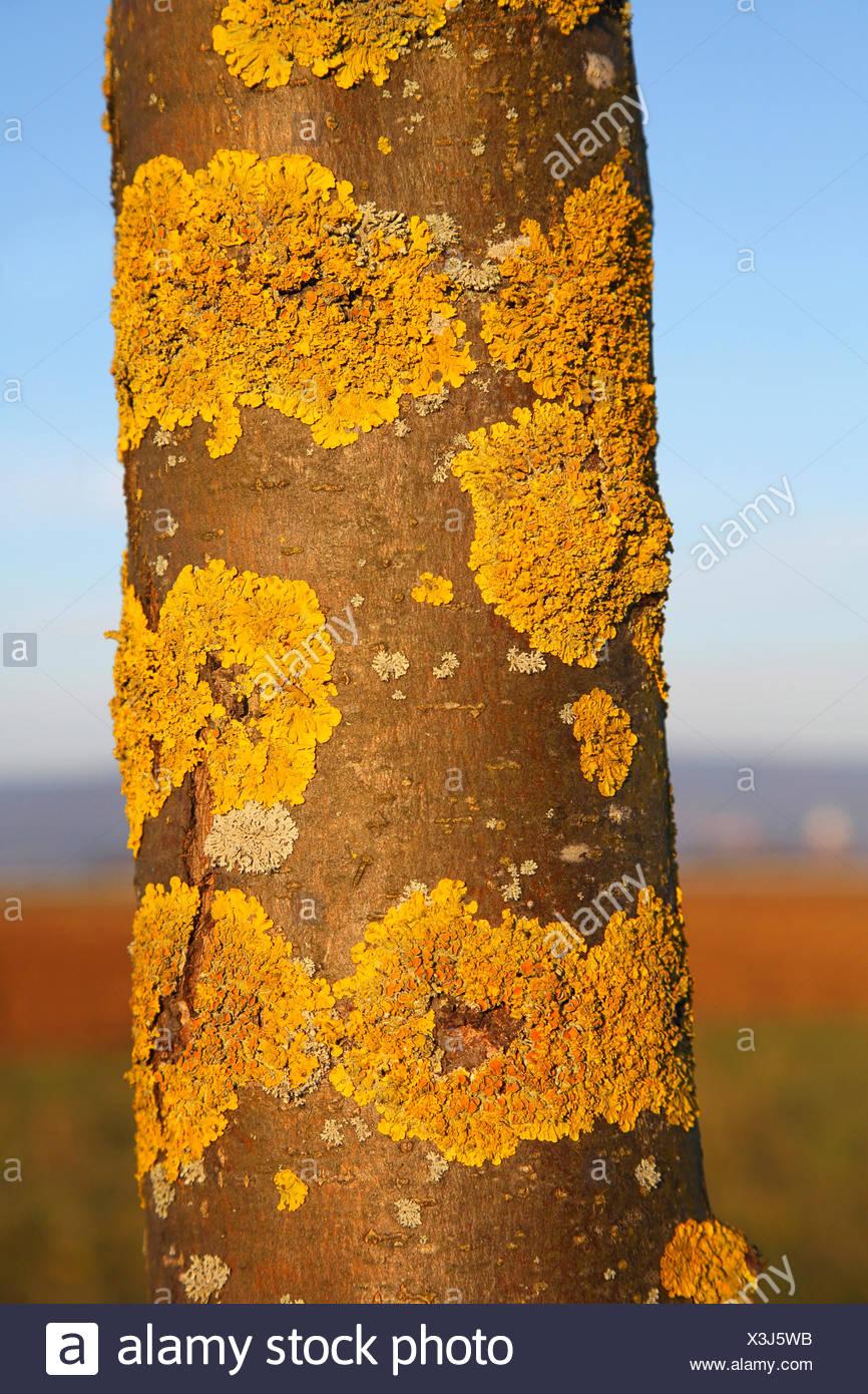 Common orange lichen, Yellow scale, Maritime sunburst lichen, Shore lichen, Golden shield lichen (Xanthoria parietina, Parmelia parietina), on bark, Germany - Stock Image