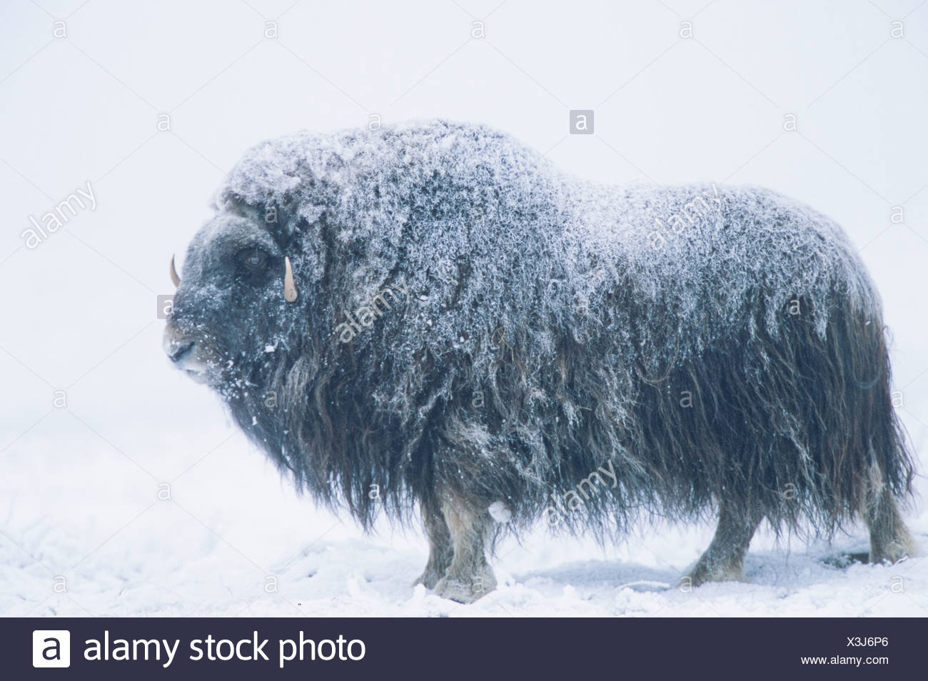 Alaska, Arctic National Wildlife Refuge / ANWR. Frozen tundra in winter hosts the Musk Ox, a prehistoric mammal that survives in the coldest of Arctic - Stock Image