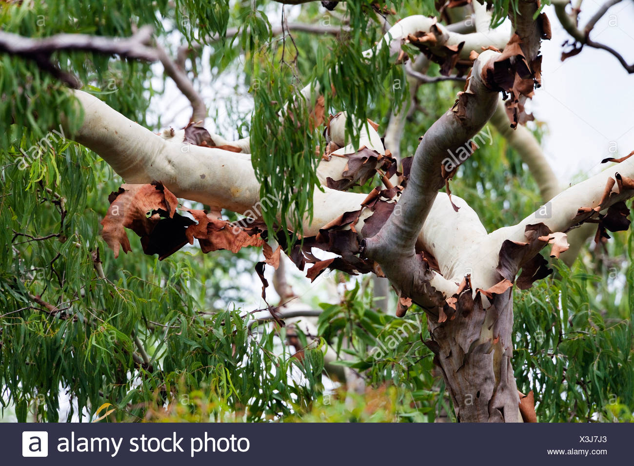 eucalyptus tree in tropical rainforest, Australia, Queensland, Cape York Peninsula, Iron Range National Park - Stock Image