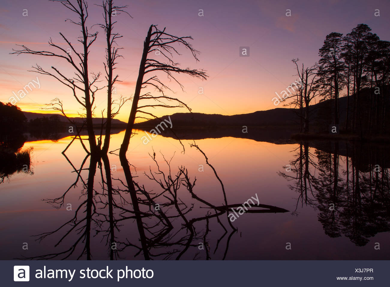 Scots pines (Pinus sylvestris) silhouetted at dusk, Loch Mallachie, Cairngorms National Park, Scotland, UK, - Stock Image