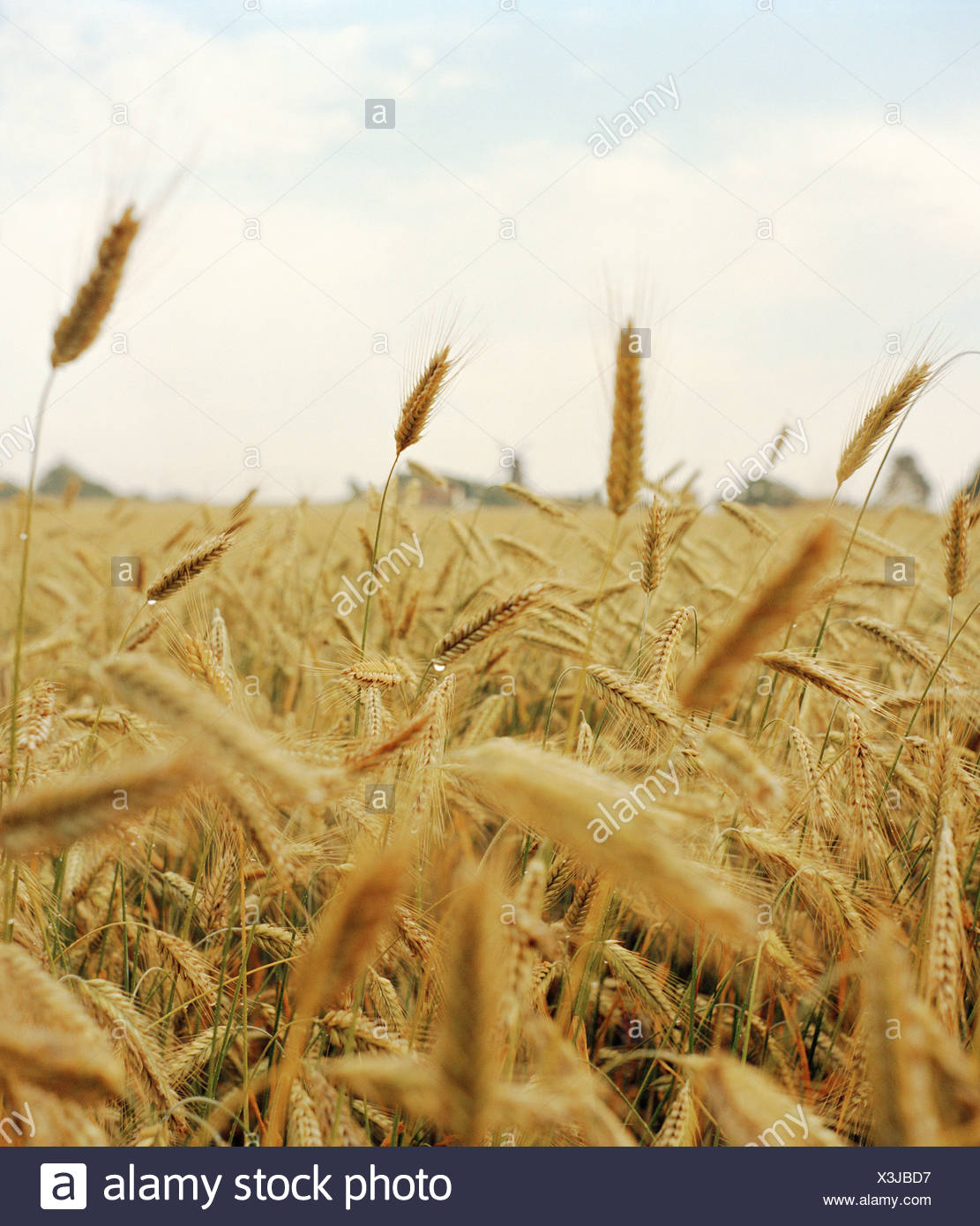 A field of grain. - Stock Image
