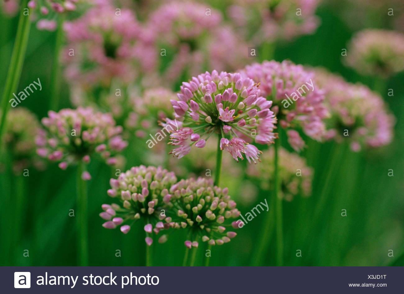 wild leek, elephant garlic (Allium ampeloprasum), blooming - Stock Image