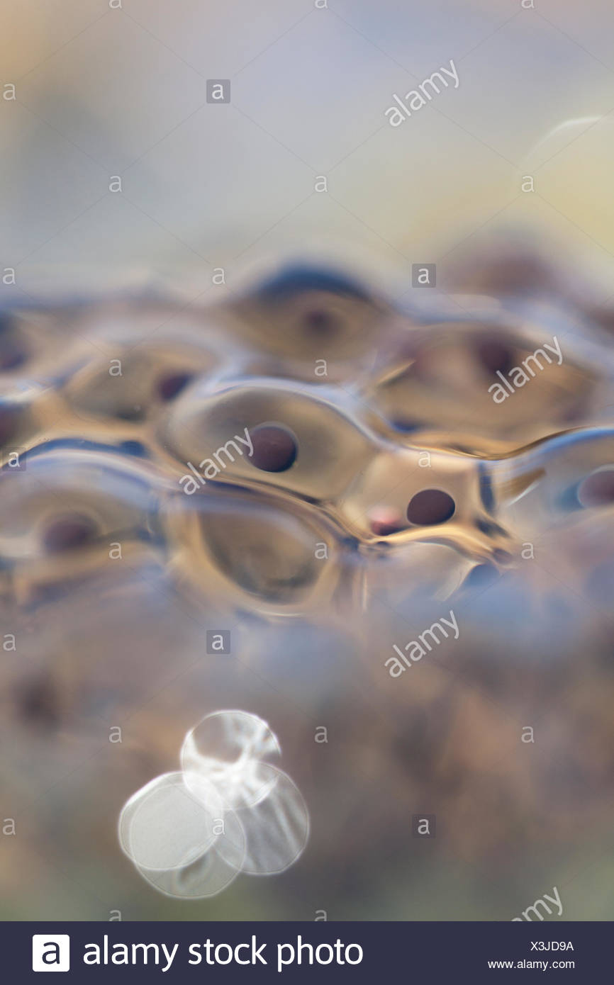 Frog spawn from moor frog Stock Photo
