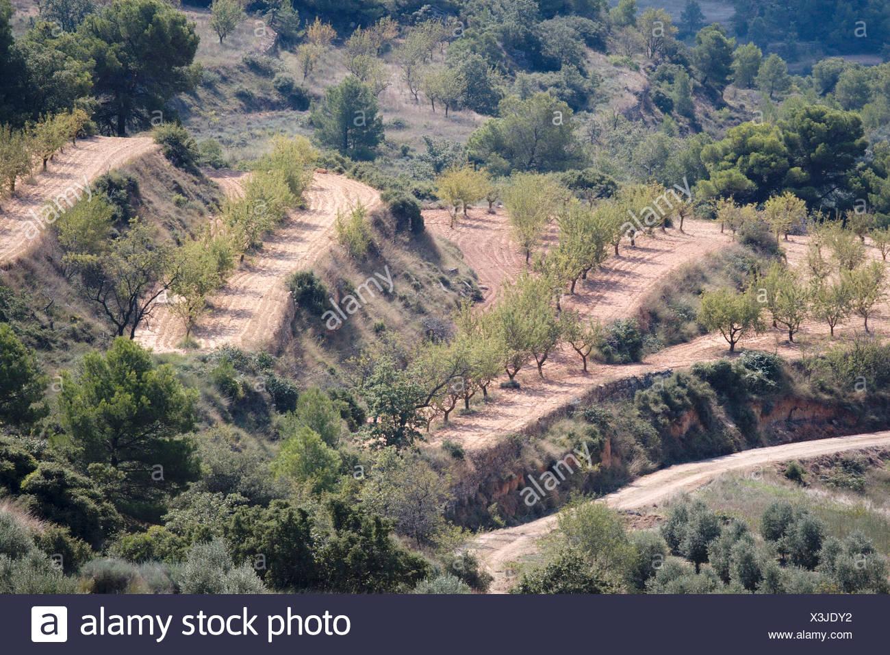 Spain, Catalunya, Terraced olive grove - Stock Image
