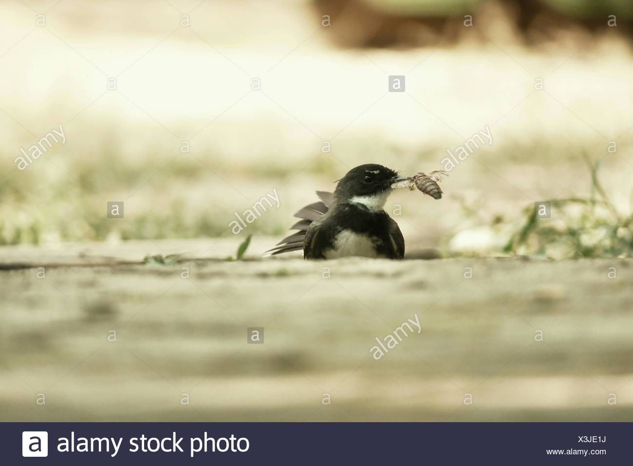 Surface Level Of Bird Hunted Insect On Field - Stock Image