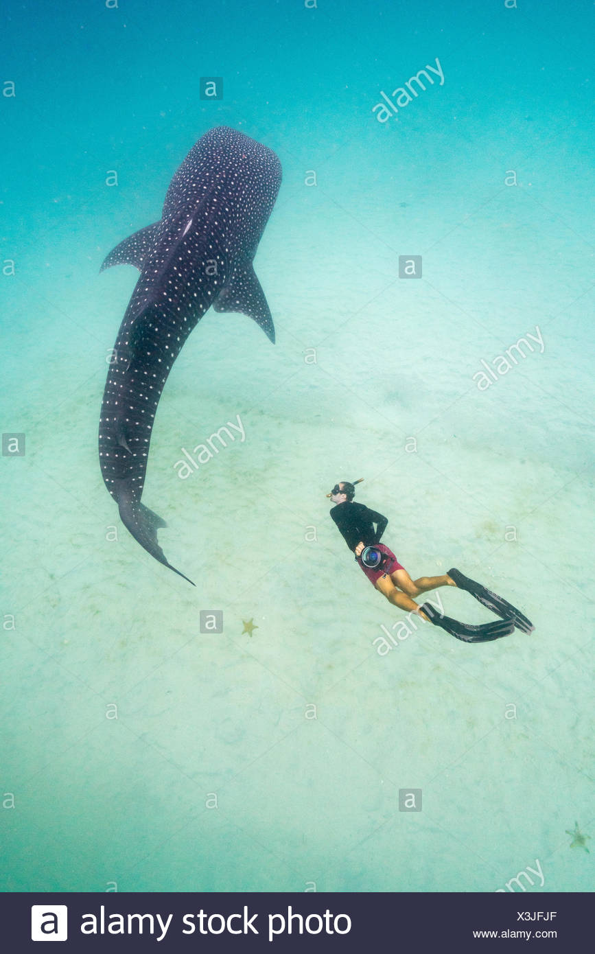 A researcher from the Marine Megafauna Foundation checks the gender of a whale shark. - Stock Image