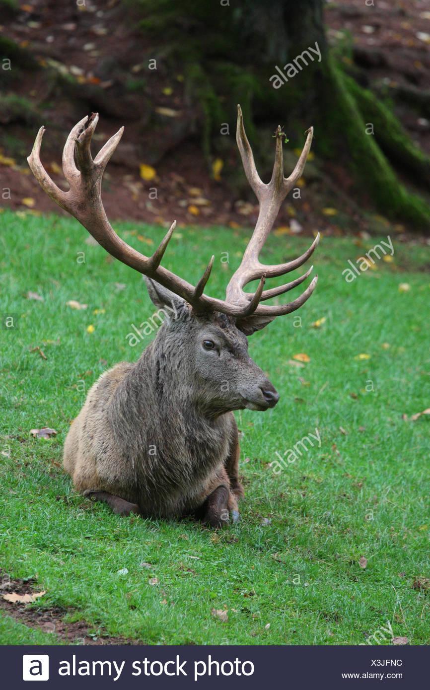 Red deer, grass, lie, rest mammal, animal, wild animal, game, red deer, manly, antlers, deer antlers, deer, Cervidae, meadow, - Stock Image