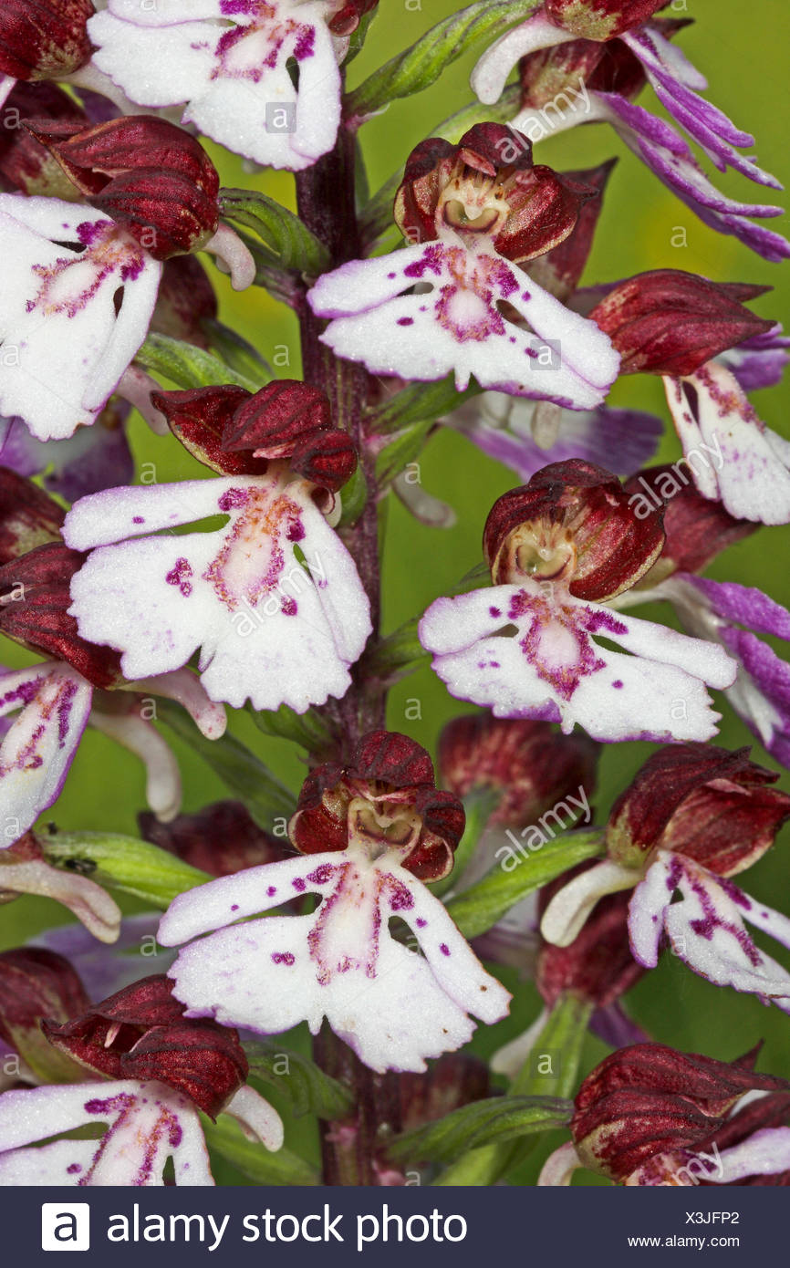 lady orchid (Orchis purpurea), detail of an inflorescence, Germany - Stock Image