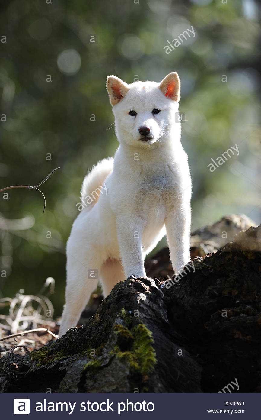 Shiba Inu. Puppy standing on a log. Germanye - Stock Image