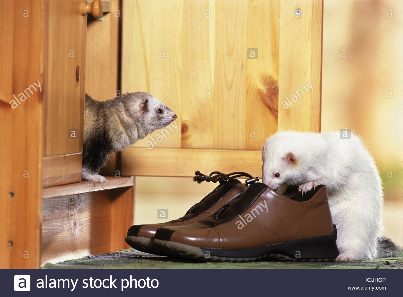 two ferrets - Stock Image