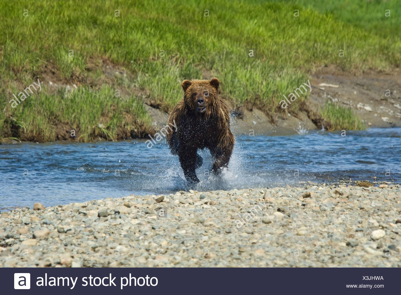 A Brown Bear Charges through the water at Mikfik Creek during Summer in Southwest Alaska. - Stock Image