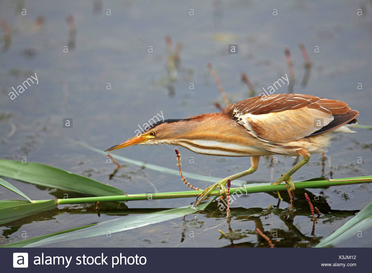 little bittern (Ixobrychus minutus), female looks for food , Greece, Macedonia, Lake Kerkini - Stock Image