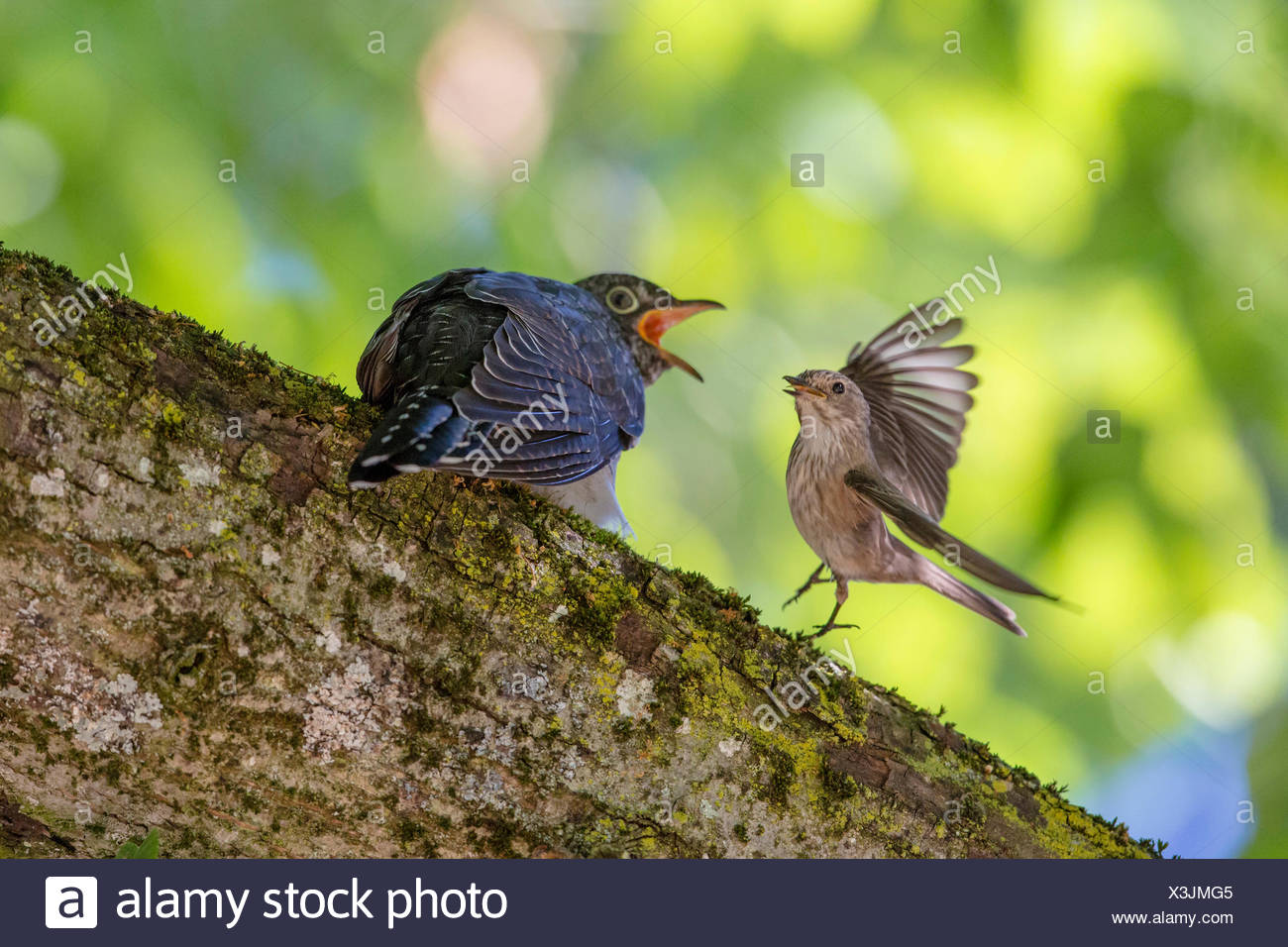 Eurasian cuckoo (Cuculus canorus), Spotted Flycatcher feeding young cuckoo, Germany, Bavaria - Stock Image