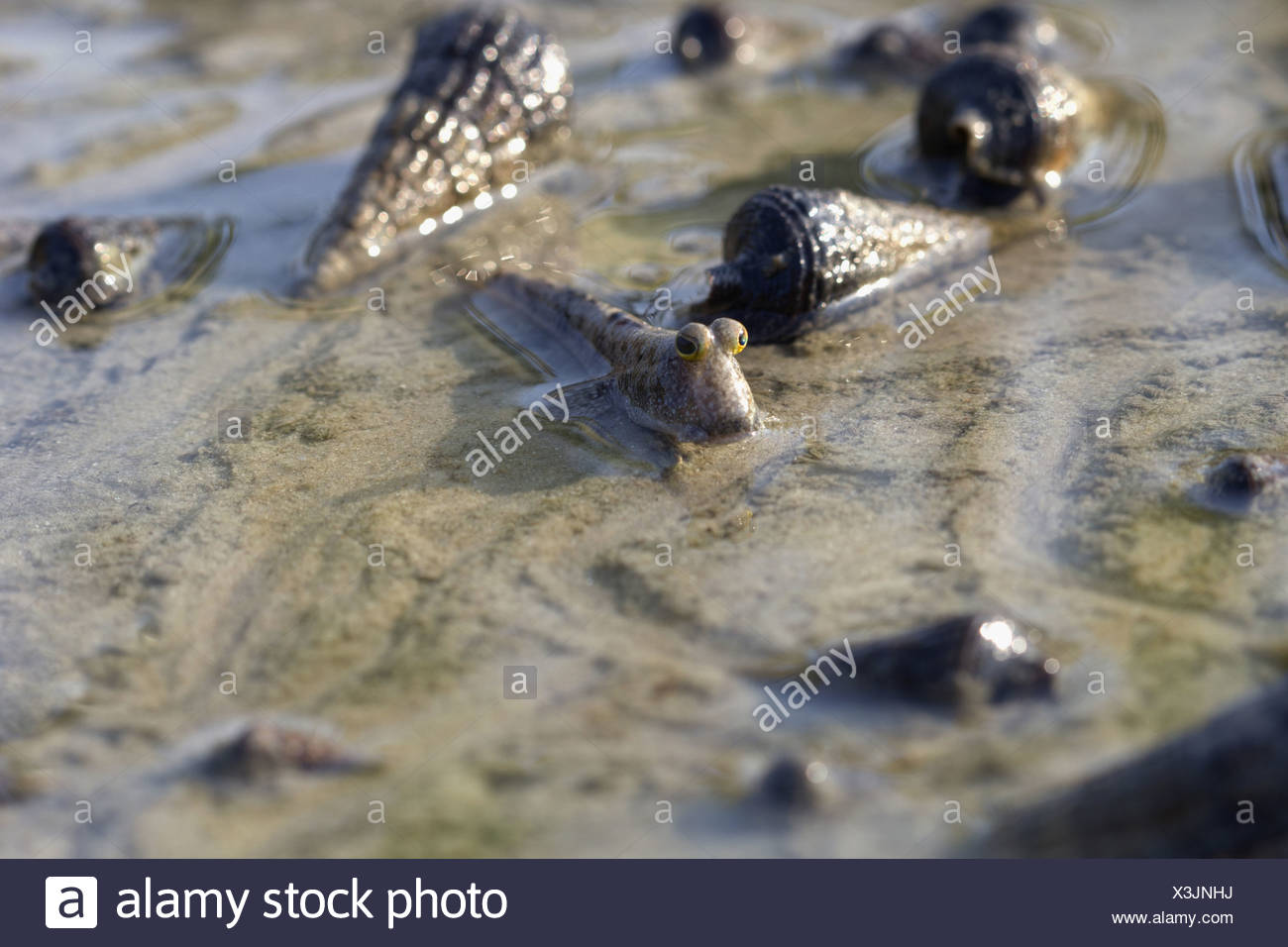 Mudskippers are common elements of estuarine ecosystems. They are filter feeders and can be seen in hundreds in suitable habitat - Stock Image