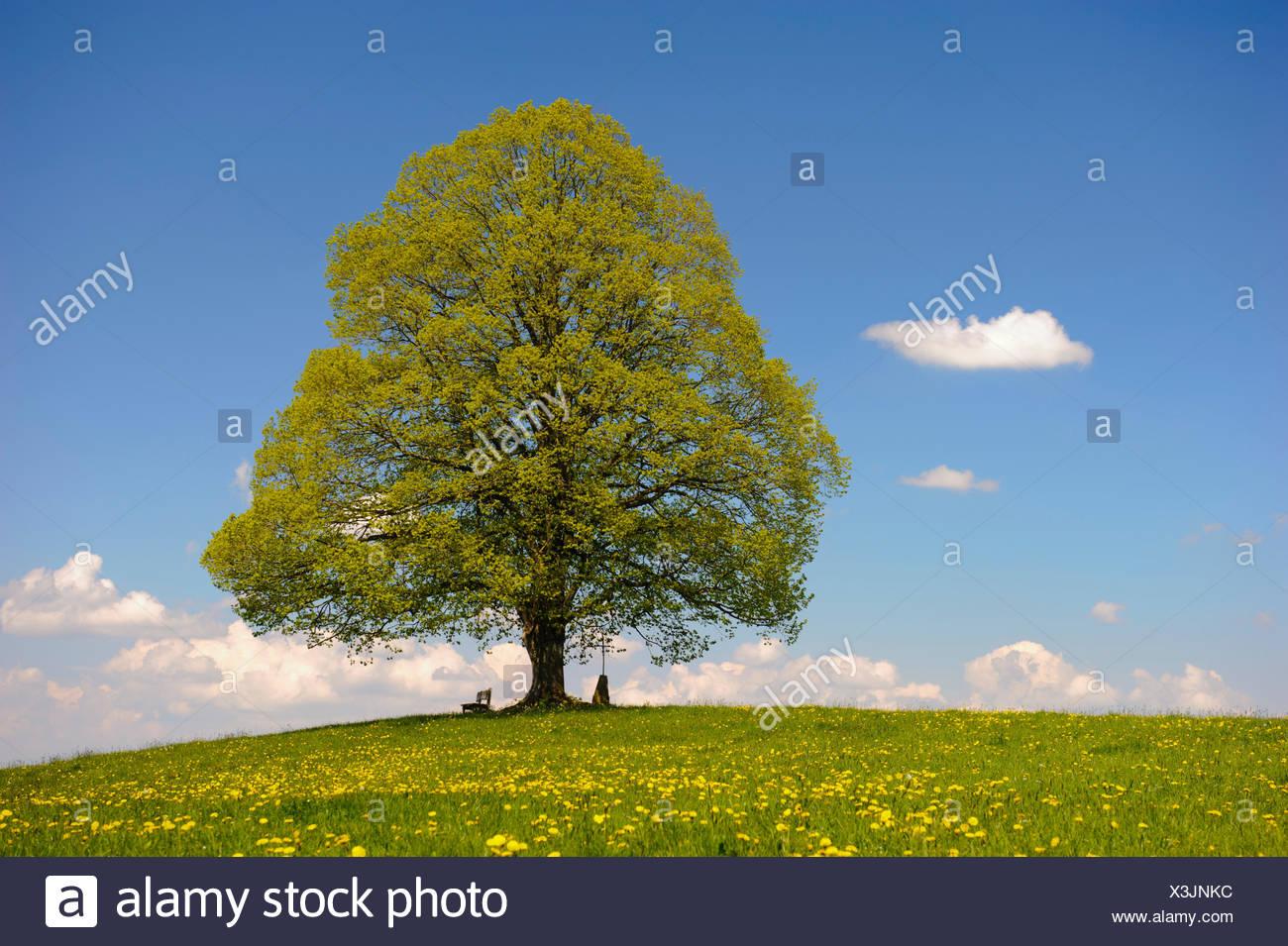 Große perfekt gewachsene Linde im Allgäu auf einer Frühlingswiese Stock Photo