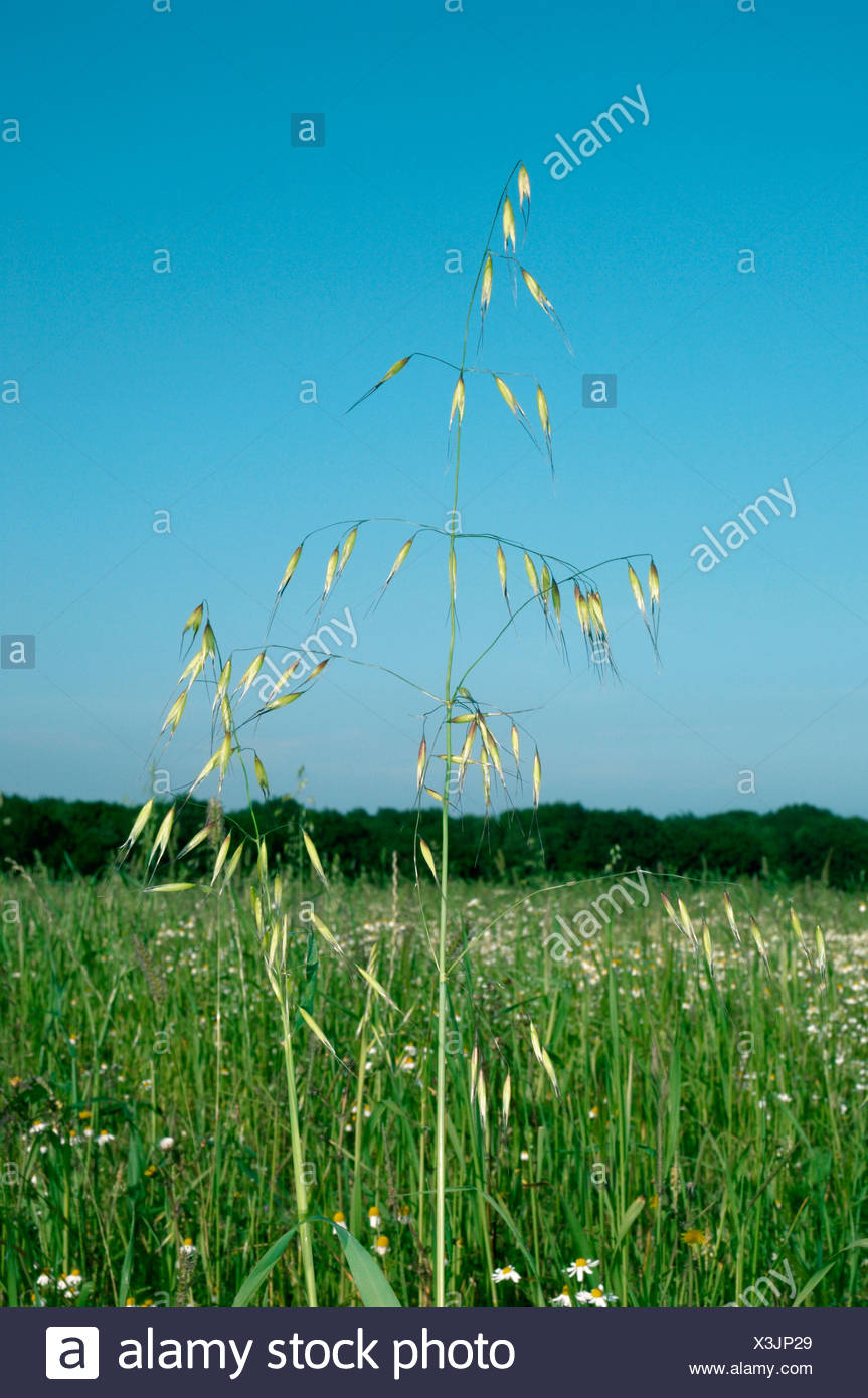 WILD-OAT Avena fatua Stock Photo